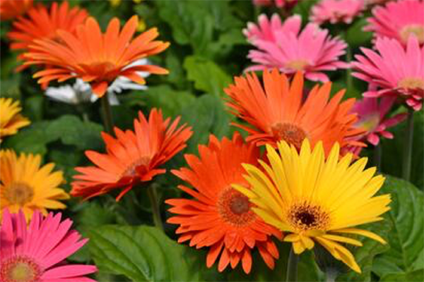 Orange pink and yellow gerbera daisies