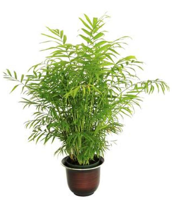 Bamboo-palmsml.png#asset:4309