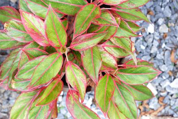 Chinese-evergreen.png#asset:4310